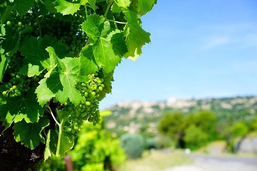 Támogatási lehetőség borszőlőültetvény telepítésére